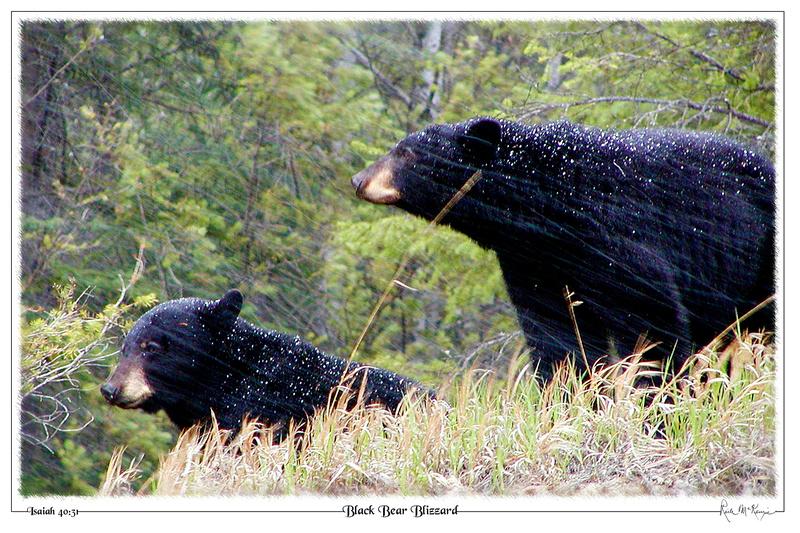 Black Bear Blizzard-Kootenay Natl Pk, BC, CAN