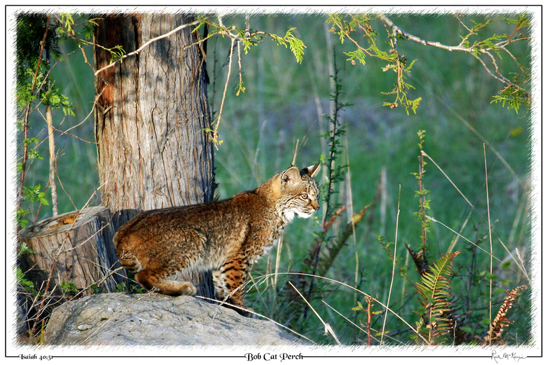 Bob Cat Perch-Chimacum, WA