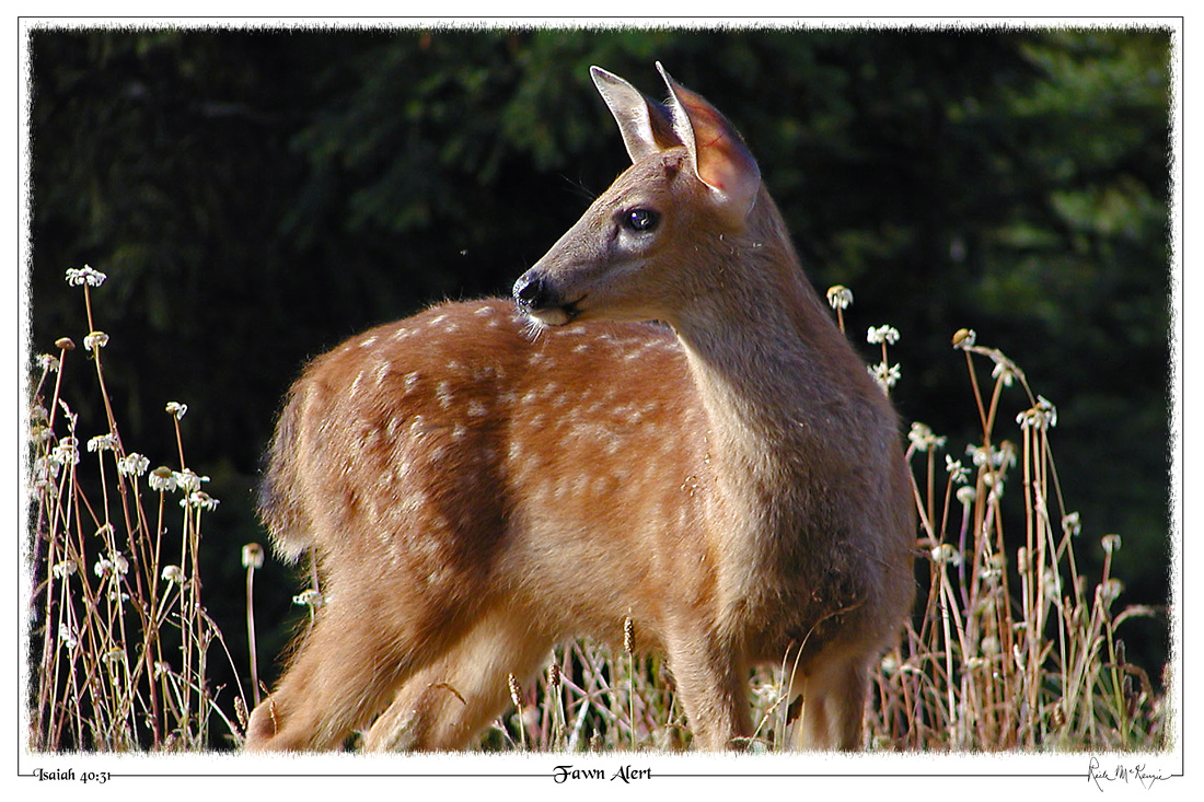 Fawn Alert-Blacktail Fawn-Olympic Natl Pk, WA