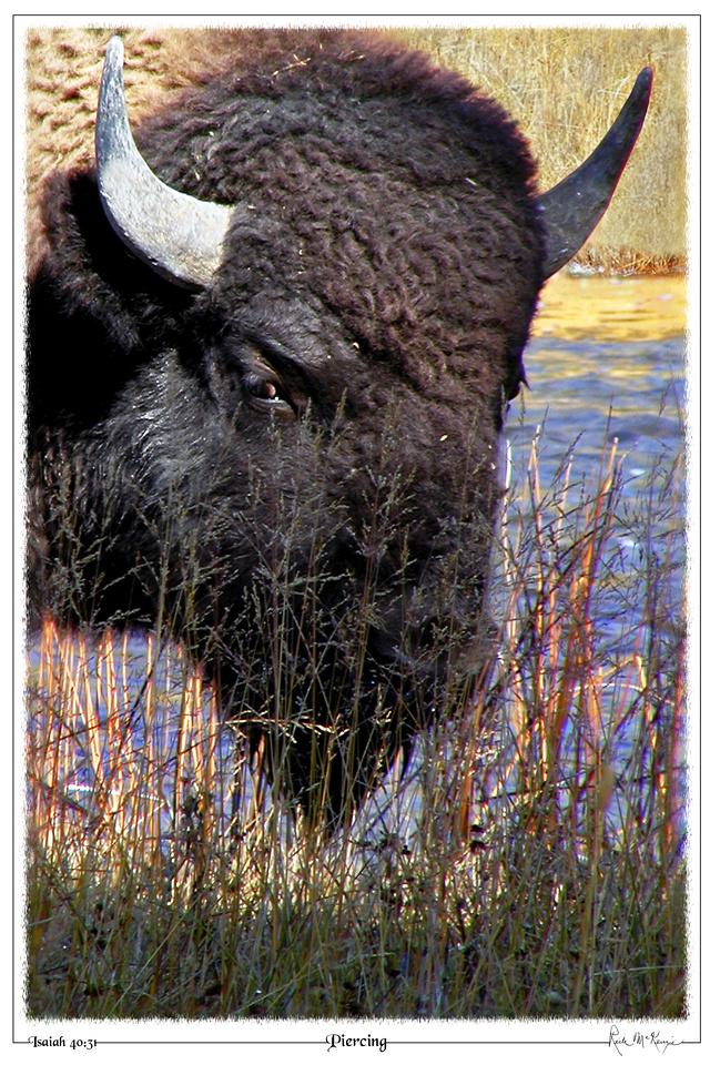 Piercing-Bull Bison-Yellowstone Natl Pk, WY