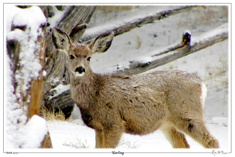 Yearling-Great Sand Dunes Natl Pk, CO
