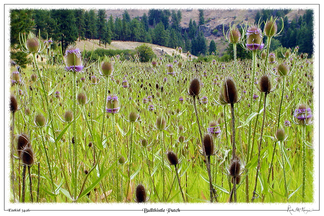 Bullthistle Patch-Blue Mountain Forest, OR