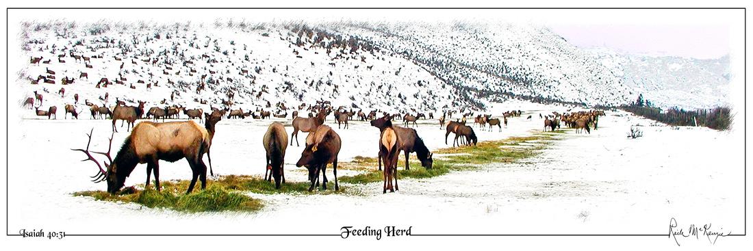 Feeding Herd-Elk at Oak Creek Wildlife Area, WA