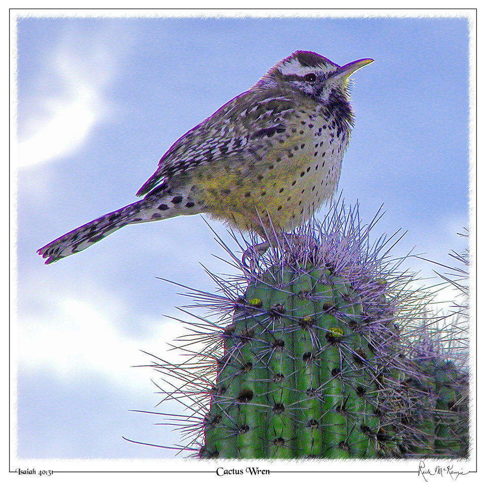 Cactus Wren-Organ Pipe Cactus Natl Monument, AZ