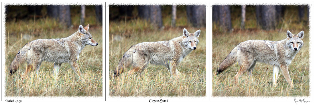 Coyote Stand-Banff, Alberta, CAN