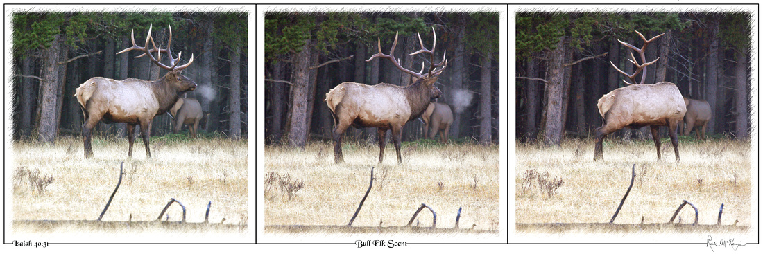Bull Elk Scent-Banff Natl Pk, Alberta, CAN