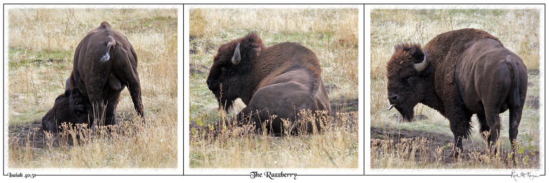 The Razzberry-The National Bison Range, MT