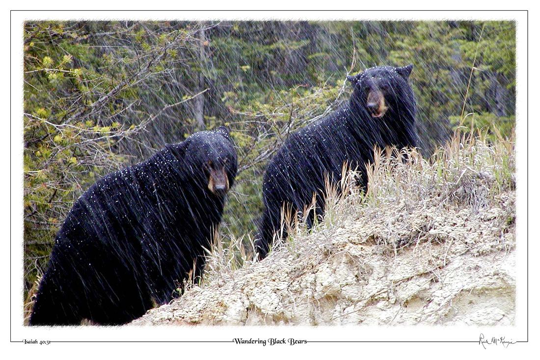 Wandering Black Bears-Kootenay Natl Pk, BC, CAN