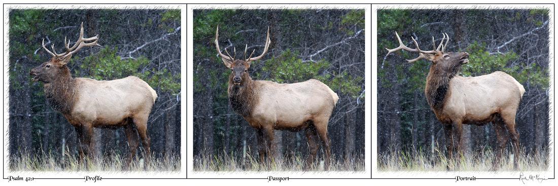 Profile-Passport-Portrait-Bull Elk, Banff National Park, Alberta, CAN