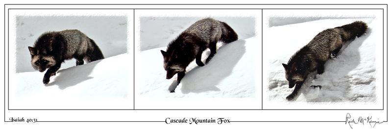 Cascade Mountain Fox-Mount Rainier Natl Pk, WA