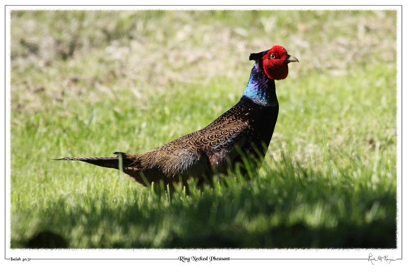 Ring Necked Pheasant-Chimacum, WA