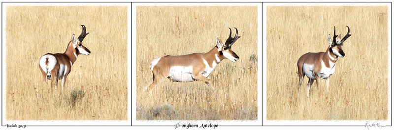 Pronghorn Antelope-Pinedale, WY