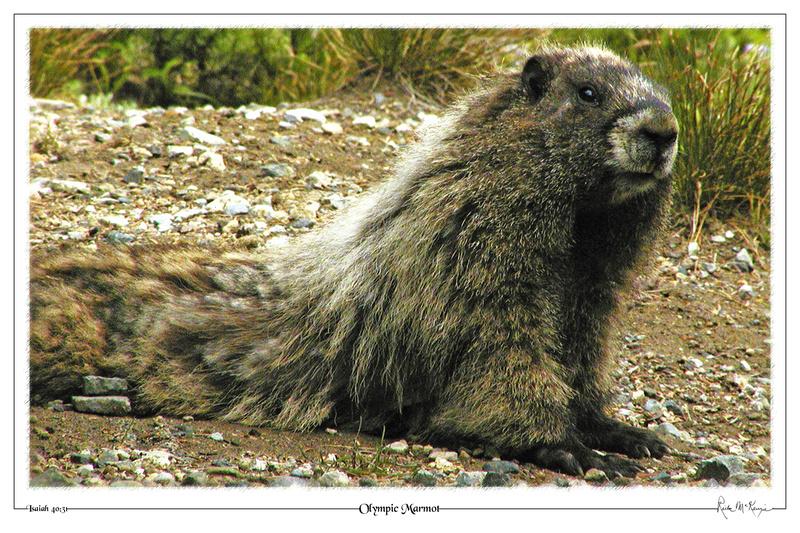 Olympic Marmot-Olympic Natl Pk, WA