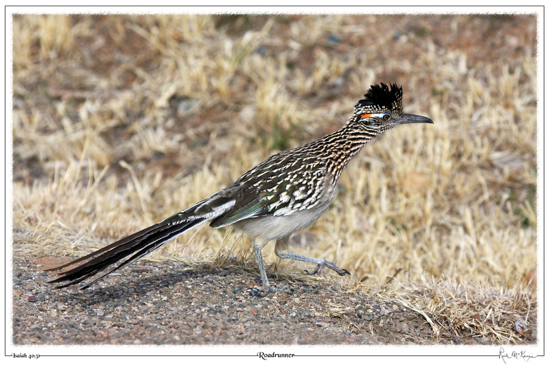 Roadrunner-Prescott Valley, AZ