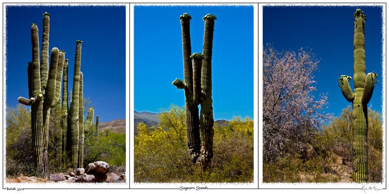 Saguaro Stands-Bumble Bee, AZ